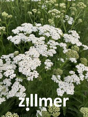 filipendula vulgaris multiplex